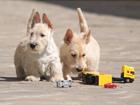 Изображение в Собаки и щенки Продажа собак, щенков Продаются щенки скотч терьера пшеничного в Москве 25000