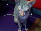 Изображение в   ищу кота для вязки в москве и области, кошке в Электростали 1