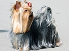 Уникальное фото Вязка собак Йоркширский терьер, Вязка, Очень опытный 38467910 в Москве
