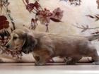 Скачать foto Разное Клубные щенки миниатюрной длинношерстной таксы кремового окраса 38504553 в Москве