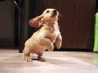 Фото в Домашние животные Разное Продаются клубные щенки длинношерстной, миниатюрной в Москве 25000