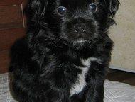 Японский хин Японский хин щенки. Продаю. Три чёрно-белых мальчика, рожд. 03. 06.