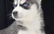 Продаются очень красивые щенки сибирского