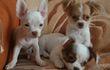 Чихуахуа щенки: белый с рыжим , г/ш, Гарик;