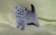 Питомник британских кошек предлагает британского