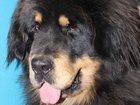 Свежее изображение  Тибетский мастиф, прекрасные, крупные щенки 32381215 в Москве