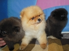 Свежее фотографию Собаки и щенки Щенки шпица 32487294 в Москве