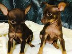 Скачать бесплатно изображение  Продам шоколадных щенков той терьера 32518339 в Москве