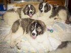 Фотография в Собаки и щенки Продажа собак, щенков В питомнике Валенц Хаус 03. 01. 2015 г. родились в Москве 70000
