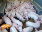 Фотография в Домашние животные Другие животные продаем поросят, месяц возраст, вес 6-8 кг, в Москве 6500