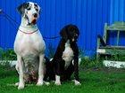 Фото в Собаки и щенки Продажа собак, щенков В питомнике продаются щенки немецкого дога. в Москве 0