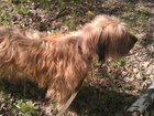 Фото в Собаки и щенки Продажа собак, щенков Отдам в добрые руки девочку Бриар, 3 год в Москве 0