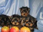 Изображение в Собаки и щенки Продажа собак, щенков Продаються щенки йорки мальчики и девочки. в Москве 13000
