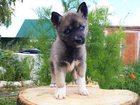 Фото в   Очаровательные щенки Сибирской хаски на продажу. в Москве 15000
