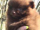 Фото в Собаки и щенки Продажа собак, щенков Щенки миниатюрного шпица (померанский, карликовый, в Москве 40000