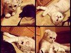 Смотреть фото Вязка Ищем кота шотландца для вязки, 33415936 в Москве