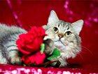 Фотография в   Настоящий котик с характером, Тимошка, в в Москве 100