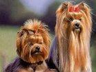 Изображение в Домашние животные Услуги для животных Стрижка собак. Стрижка йорка, ши тцу, мальтезе, в Москве 0