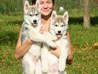 Изображение в Собаки и щенки Продажа собак, щенков Питомник Roxyros предлагает вашему вниманию в Москве 30000