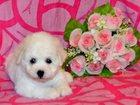 Фото в Собаки и щенки Продажа собак, щенков Белоснежный, кудрявый малыш- ждет своих любящих в Москве 35000