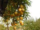 Свежее foto Растения Вкусная экзотика - Пепино - дынная груша 33713778 в Москве