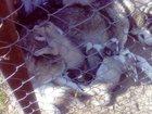 Фото в Собаки и щенки Продажа собак, щенков Голубоглазые малыши Сибирской Хаски рожденные в Москве 15000