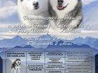 Изображение в Собаки и щенки Продажа собак, щенков Профессиональный, племенной питомник Снежность, в Москве 20000