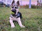 Изображение в Собаки и щенки Продажа собак, щенков Продается щенок восточно-европейской овчарки. в Москве 30000