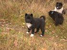 Изображение в Собаки и щенки Продажа собак, щенков Порода : ЛРЕ  Количество: 1 сучка  Дата в Москве 15000