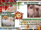 Фотография в Собаки и щенки Продажа собак, щенков Продаются щенки немецкого шпица (малые и в Москве 30000