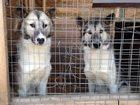 Фотография в Собаки и щенки Продажа собак, щенков Продам двух годовалых щенков гренландских в Ногинске 50000