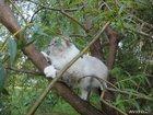 Фото в Кошки и котята Вязка Молодой, здоровый, красивый Невак, со всеми в Москве 1000