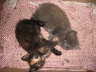 Фото в   Отдам котят 2 мес от моей домашней кошки в Москве 100