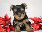 Изображение в Собаки и щенки Продажа собак, щенков Щенки Йоркширского терьер.   мини и мелкий в Москве 25000