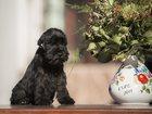 Изображение в Собаки и щенки Продажа собак, щенков Предлагаем в качестве домашних любимцев очаровательных в Москве 40000
