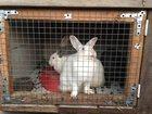 Увидеть foto Другие животные Парное мясо кролика и живые крольчата пород Калифорниец, Ризен, Серый великан, Венский черный, 34565406 в Москве