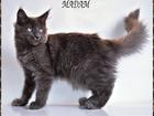 Фотография в Кошки и котята Продажа кошек и котят В питомнике есть котята мейн-кун голубого в Москве 0