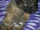 Уникальное фото Собаки и щенки Леонбергер щенок 1,6 мес от заводчика 34887351 в Москве