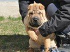Фотография в   Предлагается вашему вниманию щенок шар-пея, в Новосибирске 25000