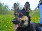 Изображение в   Очаровательная собака по кличке Бавария ищет в Москве 0