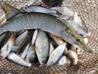 Скачать бесплатно фотографию  Активатор клёва, Гораздо больше рыбы с рыбалки, 35767640 в Омске