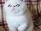 Фото в Кошки и котята Продажа кошек и котят Котик окрас: ред-лингс-поинт с голубыми глазами, в Москве 0
