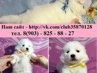Фотография в Собаки и щенки Продажа собак, щенков В продаже замечательные щеночки самоедской в Москве 0