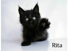 Фотография в Кошки и котята Продажа кошек и котят Невероятной красоты котята мейн кун из питомника в Москве 35000