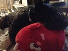 Фотография в   Пропала собака чёрная скотч терьер! 6 августа в Воронеже 0