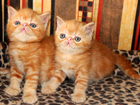 Изображение в Кошки и котята Продажа кошек и котят Питомник Oresans предлагает к продаже великолепных в Москве 20000