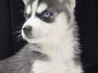 Фото в Собаки и щенки Продажа собак, щенков Продаются очень красивые щенки сибирского в Москве 30000
