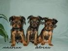 Фото в Собаки и щенки Продажа собак, щенков Питомник РКФ предлагает к продаже щенков в Москве 0