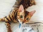 Фотография в Кошки и котята Вязка Ищем невесту. Возьмем к себе Вашу кошку. в Москве 4000