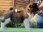 Изображение в   Продам щенков Американской Акиты, рождены в Новосибирске 50000